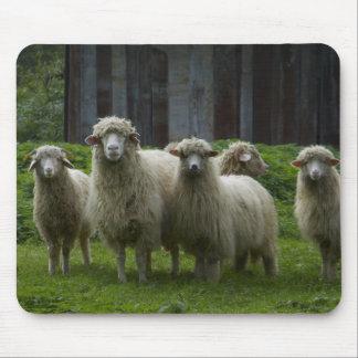 Troupeau des terres cultivables des moutons | tapis de souris