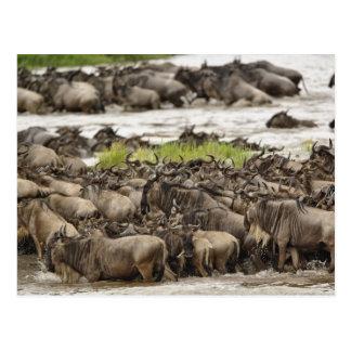Troupeau massif de gnou pendant la migration, carte postale