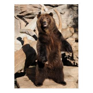 Truie d'ours gris carte postale