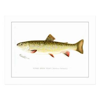Truite de ruisseau femelle carte postale