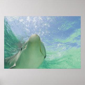 Truncatus de Tursiops de dauphins de Bottlenose) 2 Posters