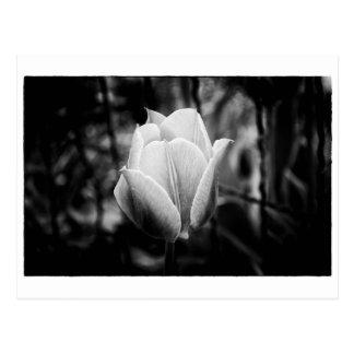 Tulipe noire et blanche de fleur carte postale