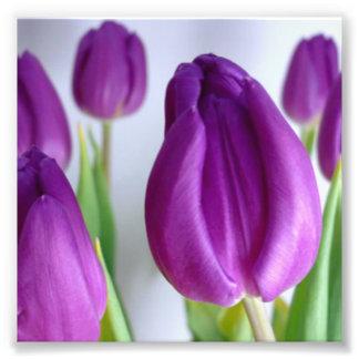 Tulipe pourpre impression photo