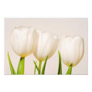 Tulipes blanches sur un fond blanc tirages photo