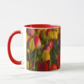 Tulipes, festival de tulipe, Woodburn, Orégon, Mugs