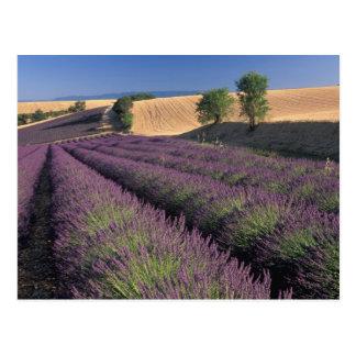 UE, France, Provence, gisements 3 de lavande Cartes Postales