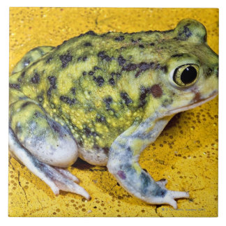Un crapaud de spadefoot grand carreau carré