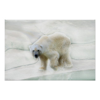Un froid glacial d ours blancs posters