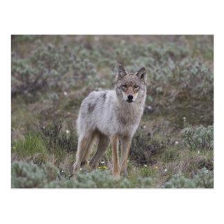 Un jeune loup gris trotte à travers la toundra carte postale