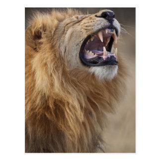 Un lion masculin mûr (Panthera Lion) dans le Cartes Postales