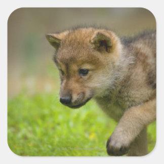 Un loup de bébé sticker carré