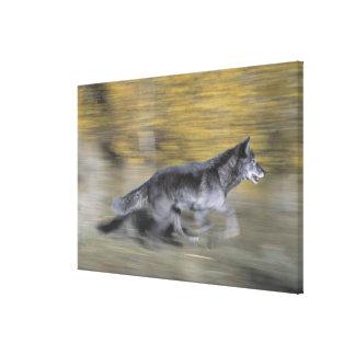 Un loup noir sur la course toiles