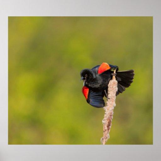 Un oiseau à ailes rouges masculin 2 poster