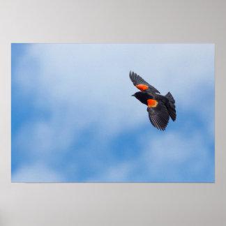 Un oiseau à ailes rouges masculin posters