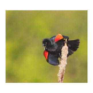 Un oiseau à ailes rouges masculin toile tendue