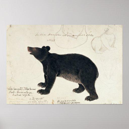 """Un ours noir asiatique, """"Ursus Tibetanus """" Affiche"""