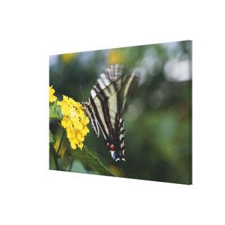Un papillon, dans la famille des machaons ou toiles