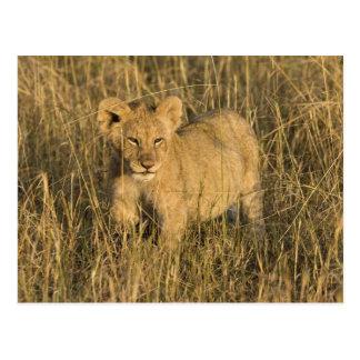 Un petit animal de lion s'étendant dans le buisson carte postale