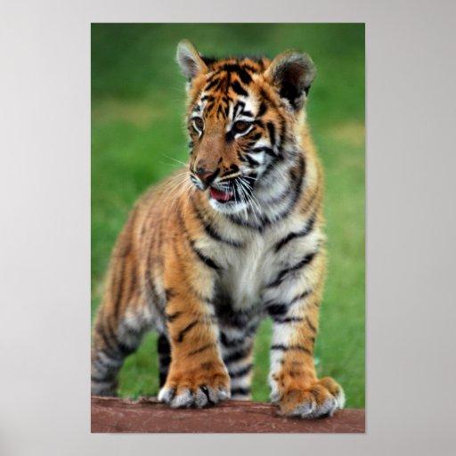 un petit animal de tigre mignon de b b posters zazzle. Black Bedroom Furniture Sets. Home Design Ideas