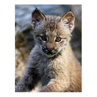Un petit chaton mignon de Lynx de Canadien Carte Postale