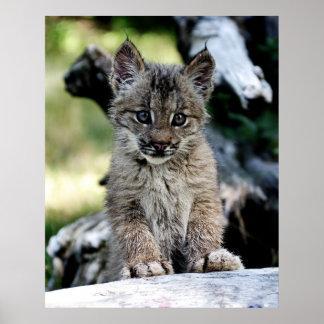Un petit chaton mignon de Lynx de Canadien Poster