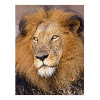 Un portrait d'un lion examinant la distance carte postale