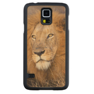 Un portrait d'un lion examinant la distance coque slim galaxy s5 en érable