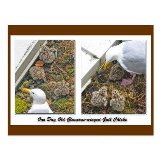 Une carte postale d'un jour de poussins de mouette
