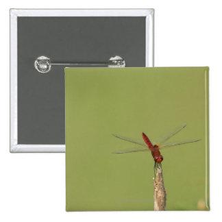 Une libellule se repose momentanément sur une mauv pin's