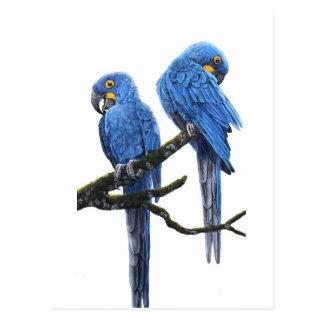 Une paire d'aras de jacinthe carte postale