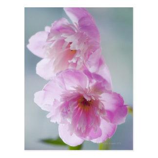 Une paire de fleurs roses de pivoine carte postale