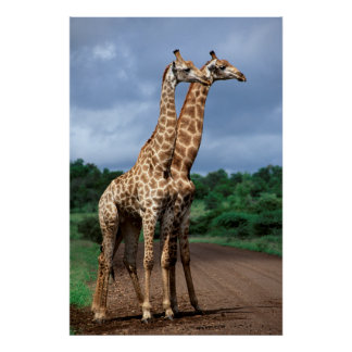 Une paire de girafes sur la route, ressortissant poster