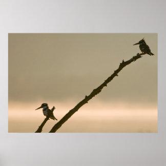 Une paire de martins-pêcheur pies (Ceryle Rudis)