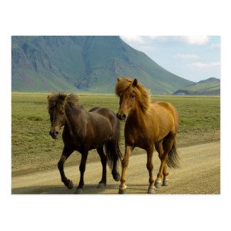 Une paire de poneys d'islandais de Brown Cartes Postales