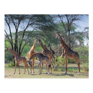 Une tour des girafes carte postale