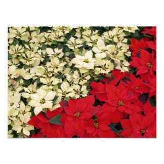 Vacances blanches et rouges des poinsettias I Photo D'art