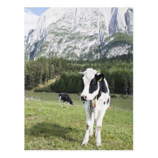 Vache dans un pré, Fie Sciliar Allo, alto l'Adige, Carte Postale