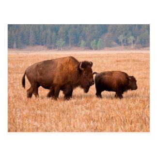 Vache et veau à bison américain (bison de bison) carte postale