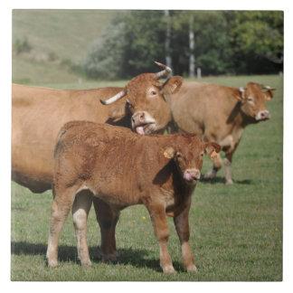 Vache et veau à Brown Limousin Grand Carreau Carré