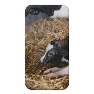 Vache et veau en foin coques iPhone 4/4S
