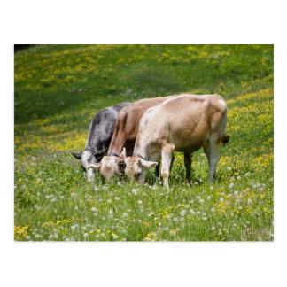 vaches dans le pré carte postale