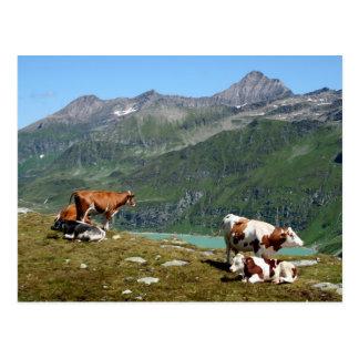 Vaches dans les montagnes carte postale