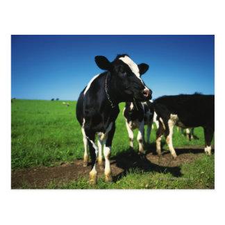 Vaches du Holstein dans un domaine Carte Postale