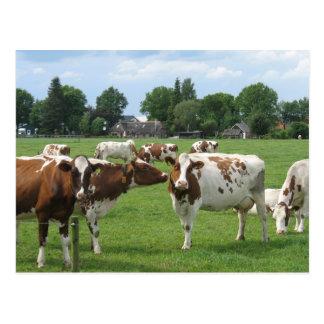 Vaches laitières vous regardant carte postale