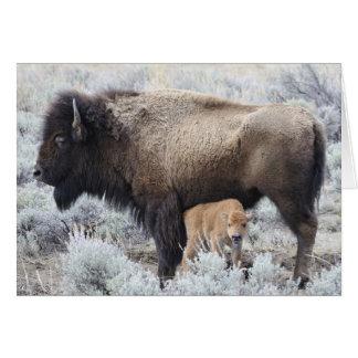 Veau de bison de soins de vache, Yellowstone 3 Carte De Vœux
