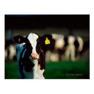 Veau de frison du Holstein Carte Postale