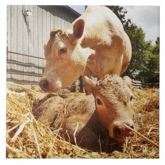 Veau et maman nouveau-nés grand carreau carré
