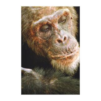 Vieux chimpanzé masculin sauvage (troglodytes de toiles