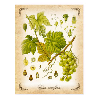 Vigne commune - illustration vintage carte postale