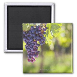 Vigne pourpre magnet carré